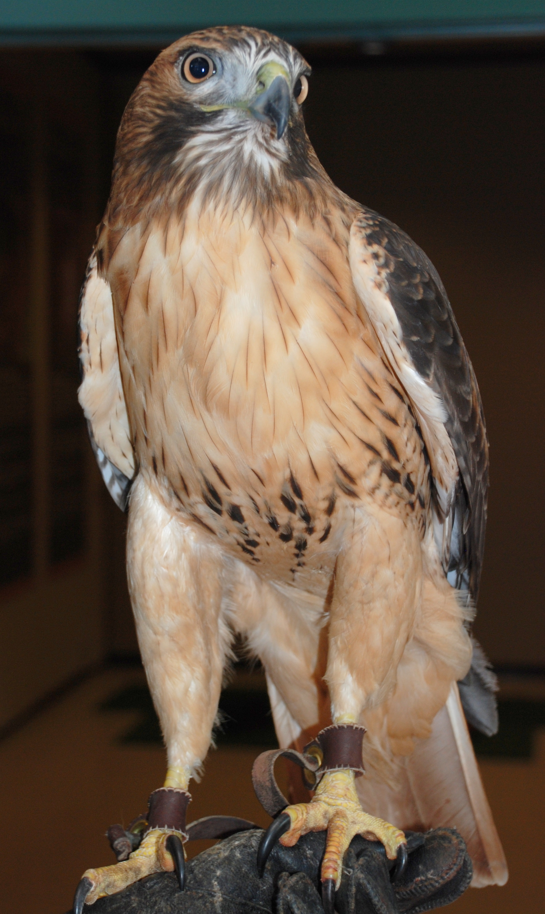 Alula, a red-tailed hawk