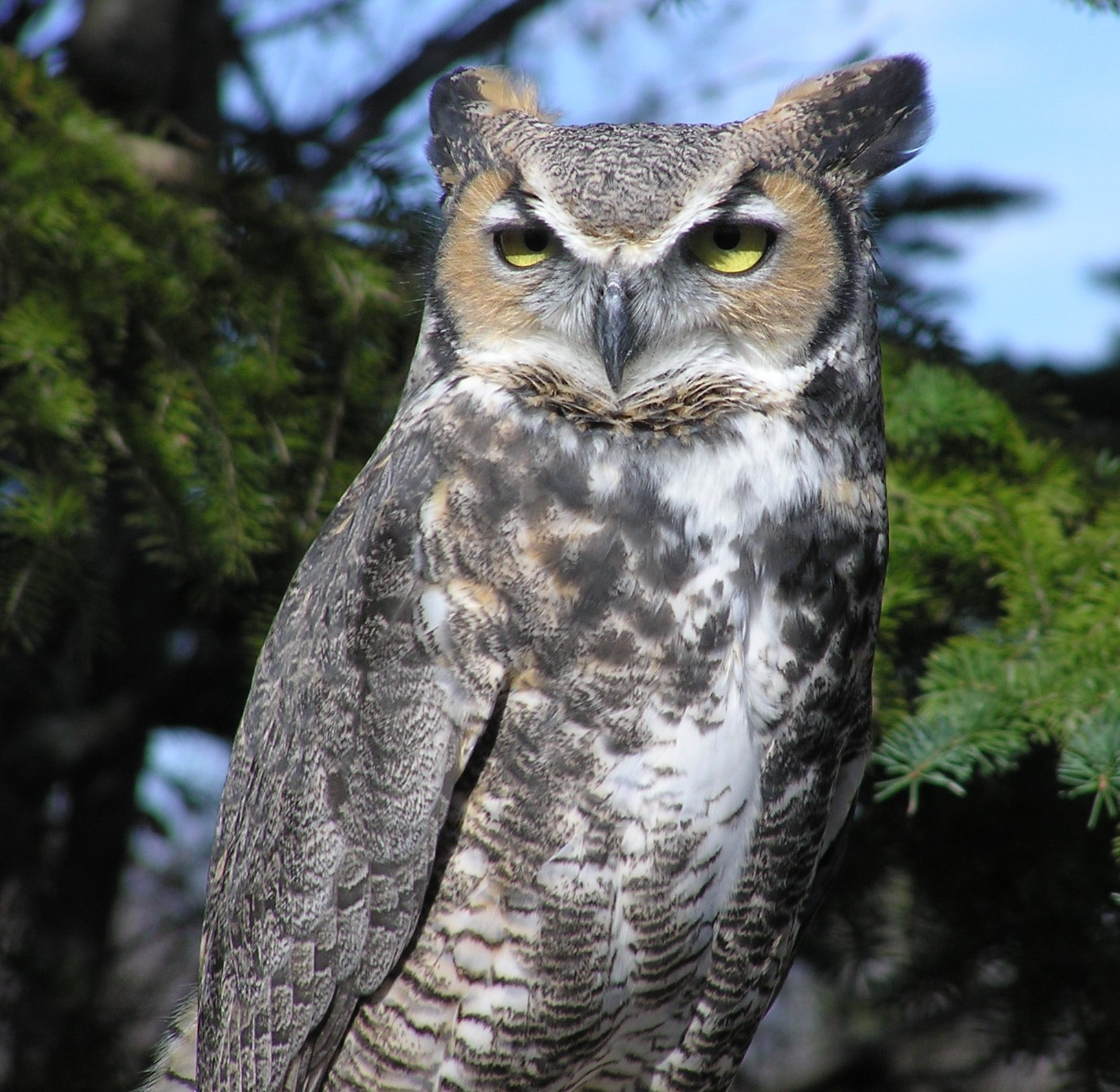 Bubo, a great horned owl