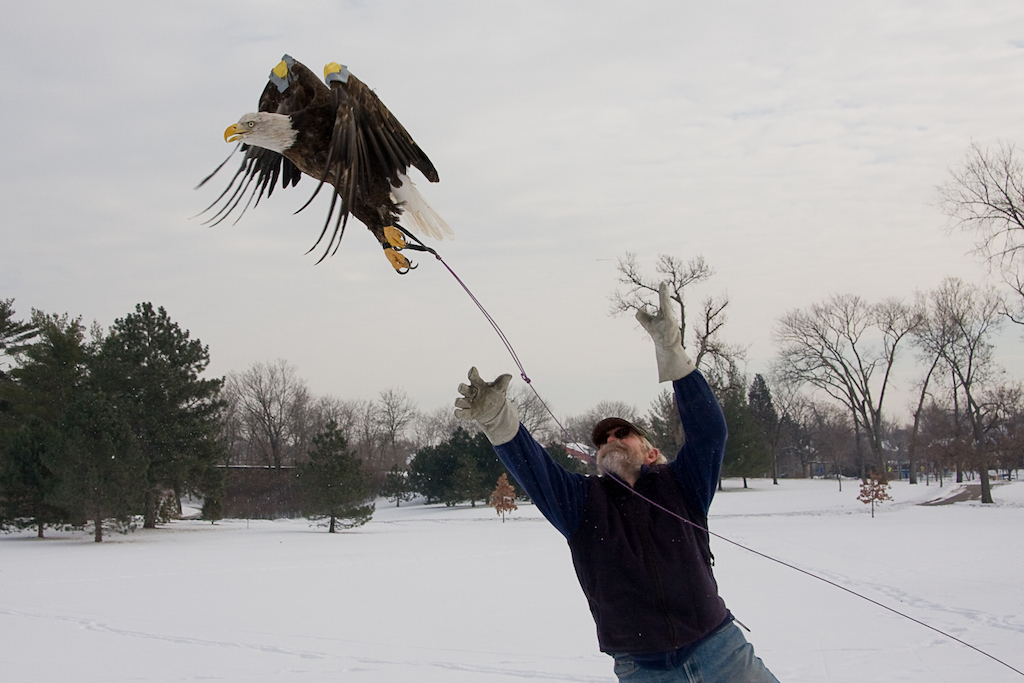 Person releasing an eagle