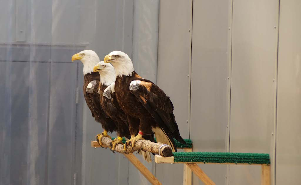Three eagles on perch together