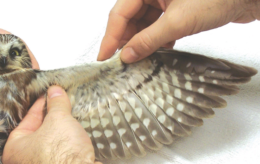 Owl wing being examined