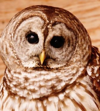 Strix, a barred owl