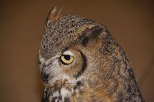 lois great horned owl