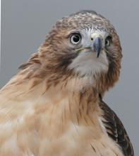 Luta red-tailed hawk