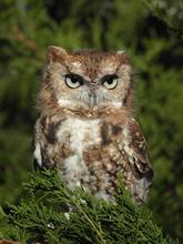 Mestaae, an eastern screech-owl