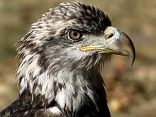 Pi, a bald eagle