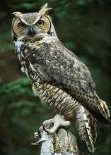 Ricke, a great horned owl