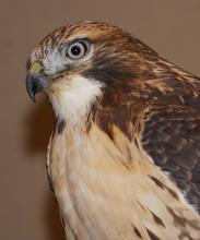 rowan ted tailed hawk