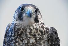 talon peregrine falcon